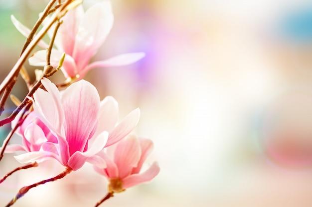 Schöner blühender magnolienbaum mit rosa blumen. frühling hintergrund