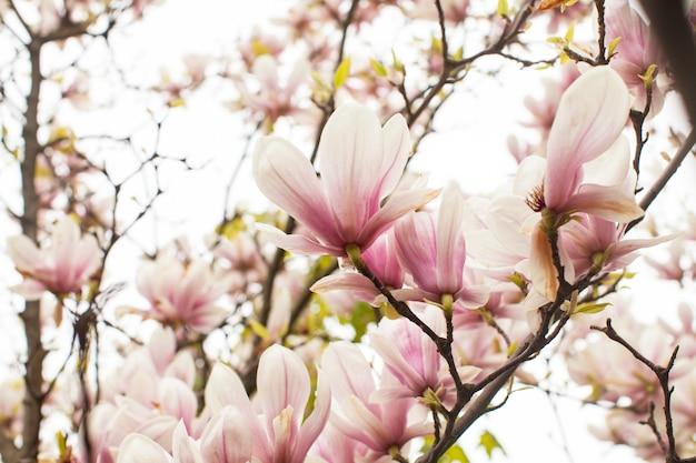 Schöner blühender magnolienbaum von rosa farbe im frühjahr