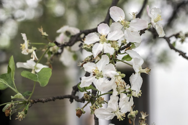 Schöner blühender parkabschluß der apfelbäume im frühjahr oben