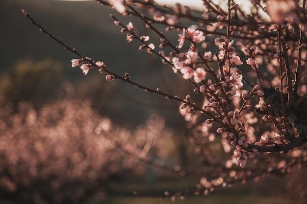 Schöner blühender pfirsich. hintergrund mit blumen an einem frühlingstag, sonnenuntergang