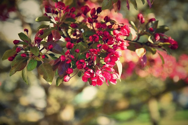 Schöner blütenbaum natur-szene mit sonne am sonnigen tag. frühlingsblumen. zusammenfassung verschwommen hintergrund im frühjahr.