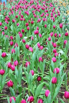 Schöner blumenstrauß aus lila tulpen
