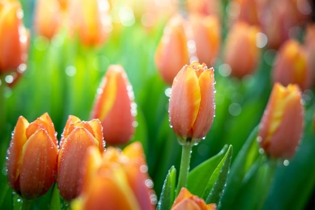 Schöner blumenstrauß von tulpen im garten