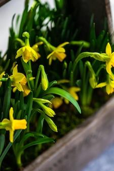 Schöner blumentopf mit gelben narzissen als frühlingsinnenkomposition
