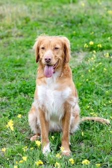 Schöner brauner bretonischer hund in einer wiese
