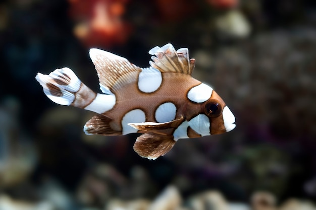 Schöner brauner fisch auf dem meeresboden und den korallenriffen