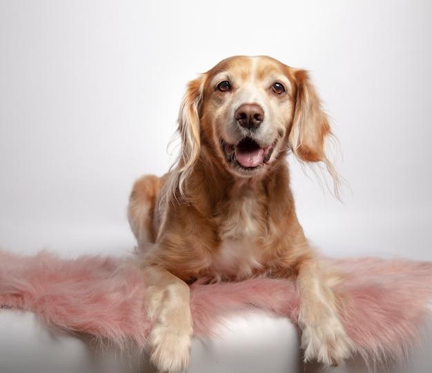 Schöner brauner nicht reinrassiger jägerhund, der auf einem rosa teppich auf weißem hintergrund liegt