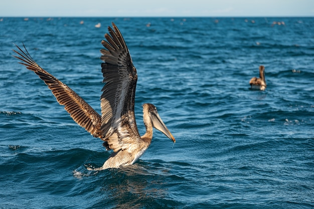 Schöner brauner pelikan hebt vom meer ab