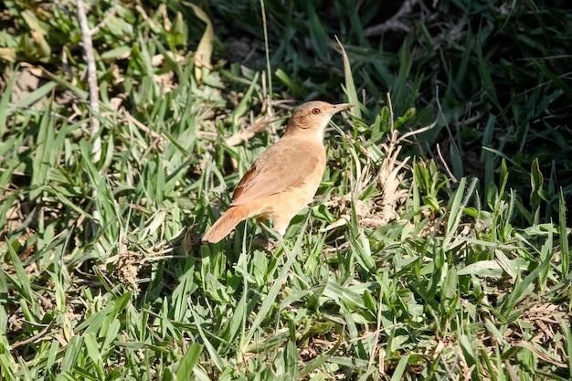 Schöner brauner vogel im wald und in den bäumen