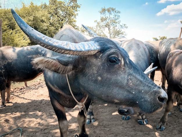 Schöner büffel in der thailändischen landschaft