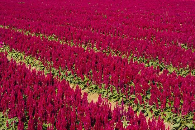 Schöner bunter roter oder rosa hahnenkamm celosia blumenmusterbauernhof, der im garten des naturhintergrundes in thailand blüht