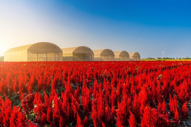 Schöner bunter roter oder rosa hahnenkamm celosia blumenmusterbauernhof, der in der gartenluftatmosphäre hellblauer himmel des naturhintergrundes in kamphaeng phet, thailand blüht