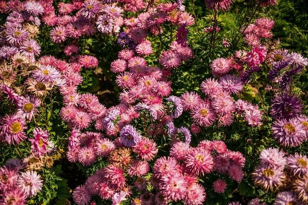 Schöner busch mit lila blumen. der frühling blüht. viele blumen an einem warmen, sonnigen tag.