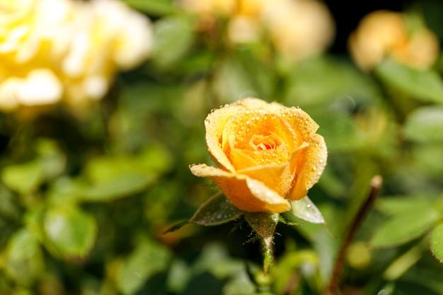 Schöner busch von gelben rosen in einem frühlingsgarten. gelbe rose mit tautropfen.