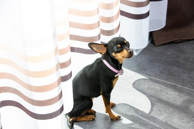 Schöner chihuahua-hund, der zu hause ruht oder sich entspannt, haustier im haus, tierkonzept