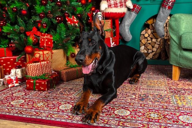 Schöner dobermannhund mit weihnachtsdekoration