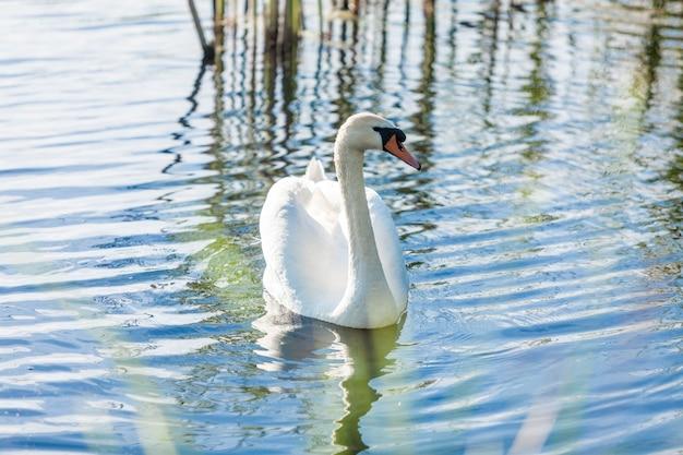 Schöner einsamer schwan, der am sonnigen tag auf see schwimmt