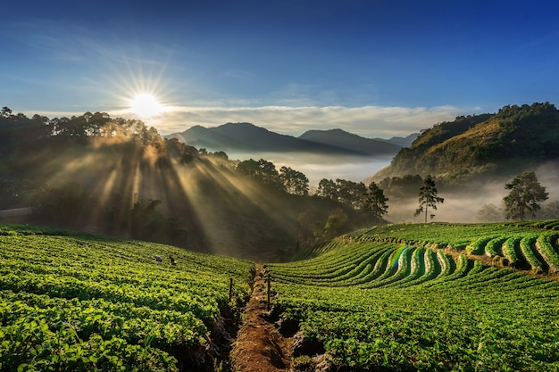 Schöner erdbeergarten und sonnenaufgang auf doi ang khang, chiang mai, thailand.