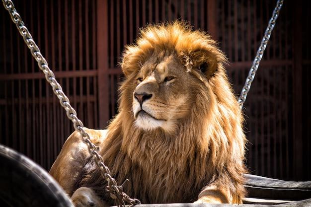Schöner erwachsener afrikanischer löwe, der auf seinem platz im zoo liegt, sein aussehen zeigt vertrauen, könig der tiere