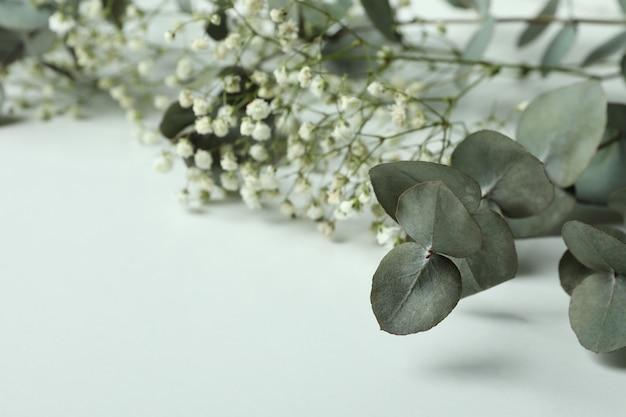 Schöner eukalyptus und gypsophila auf weißem hintergrund