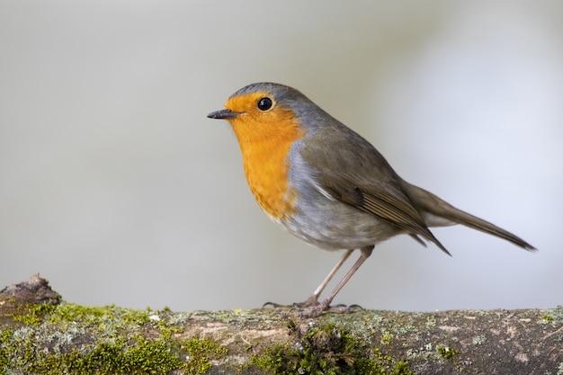 Schöner europäischer robin, der auf einem moosbedeckten ast eines baumes steht