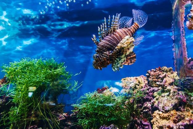 Schöner exotischer fisch roter feuerfisch pterois volitans, der im blauen wasser schwimmt