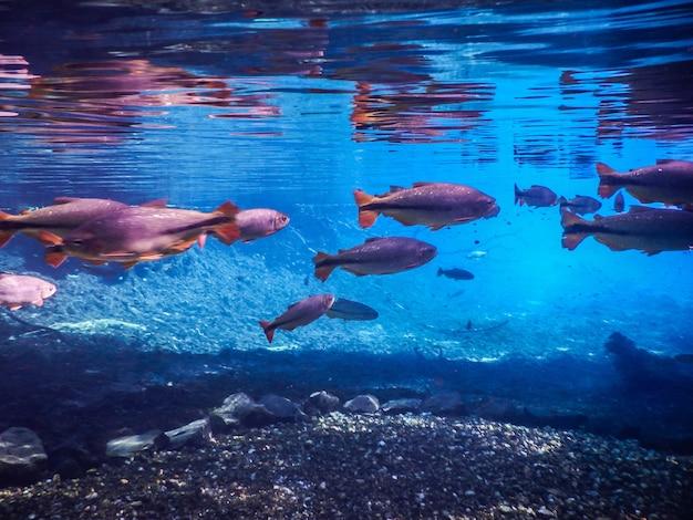 Schöner fisch im wasser im fluss der stadt bonito in brasilien