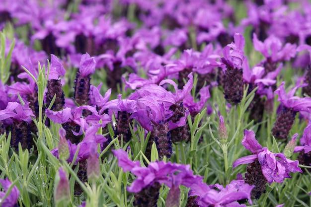 Schöner französischer lavendel oder schmetterlingslavendel blüht im sommergarten.