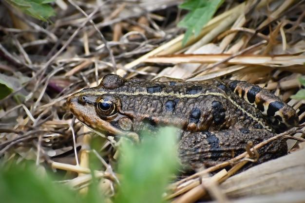 Schöner frosch in der natur am teich im gras. (bufo bufo)