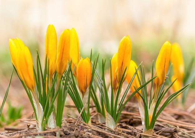 Schöner frühling blüht gelbe krokusse. selektiver fokus, makrofoto