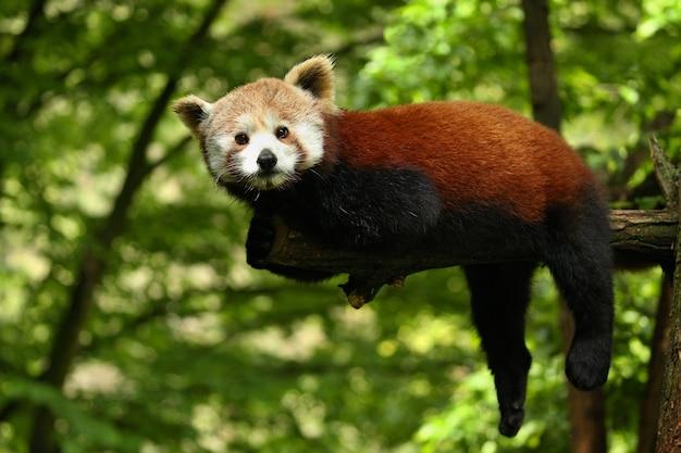 Schöner gefährdeter roter panda auf einem grünen baum
