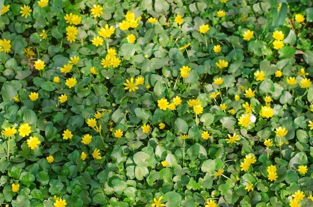 Schöner gelber frühling blüht mit grünen blättern, hintergrund für design, natürliche tapete