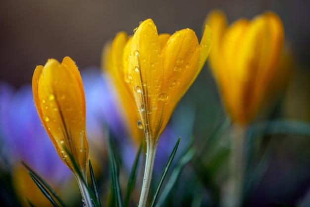 Schöner gelber frühlingskrokus nach frühlingsregen. safran im garten auf dem rasen. wassertropfen auf blumen