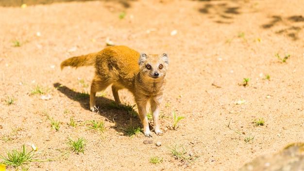 Schöner gelber mungo geht auf sandigem boden an einem sonnigen sommertag im zoo spazieren. tierleben konzept in