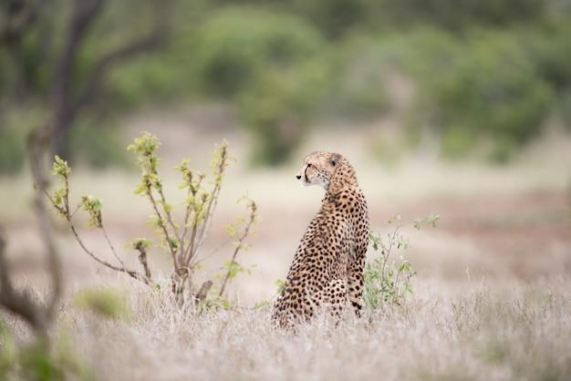 Schöner gepard, der auf dem busch sitzt und auf eine beute wartet