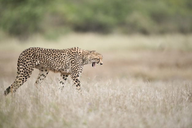Schöner gepard, der auf dem buschfeld mit einem weit geöffneten mund geht
