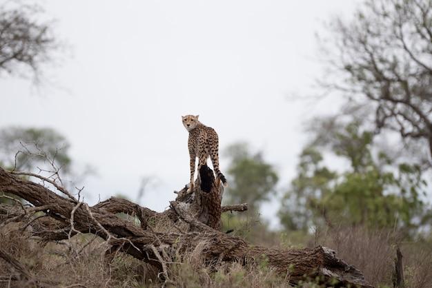 Schöner gepard, der auf einem großen zweig steht