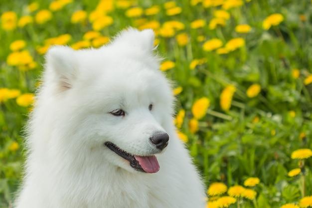 Schöner gesunder samoyedwelpenhund mit einem lustigen gesicht und einer zunge