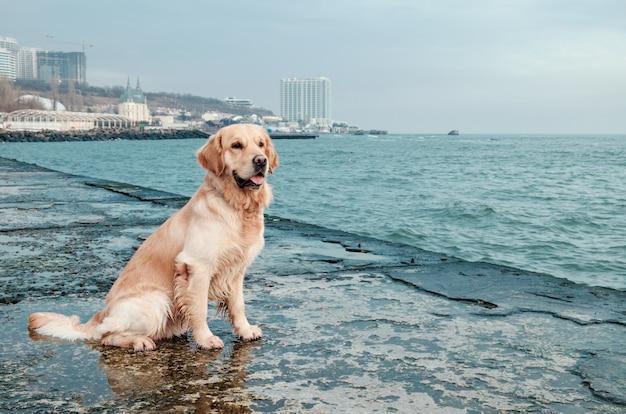 Schöner golden retriever-hund auf küste
