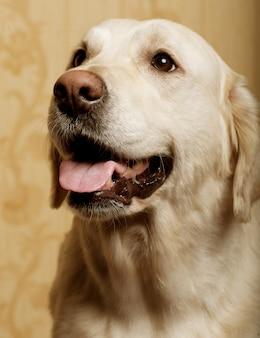 Schöner golden retriever-hund