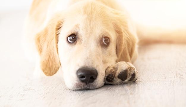 Schöner goldener retrieverhund, der auf boden ruht