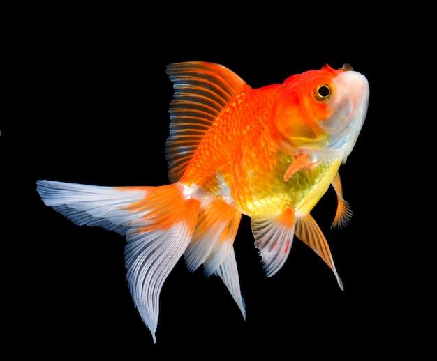 Schöner goldfisch auf schwarz
