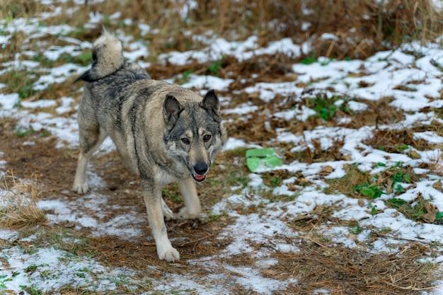 Schöner großer hund läuft auf trockenem gras mit schnee