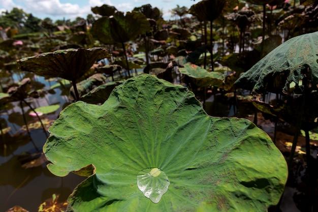 Schöner grüner lotosbaum im lotosteich