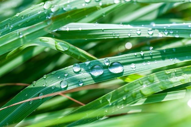Schöner grüner zitronengrasblatthintergrund mit wassertropfen.