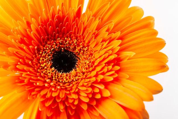 Schöner heller orange gerbera auf weißem hintergrund