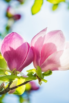 Schöner hellrosa / purpurroter magnolien-baum