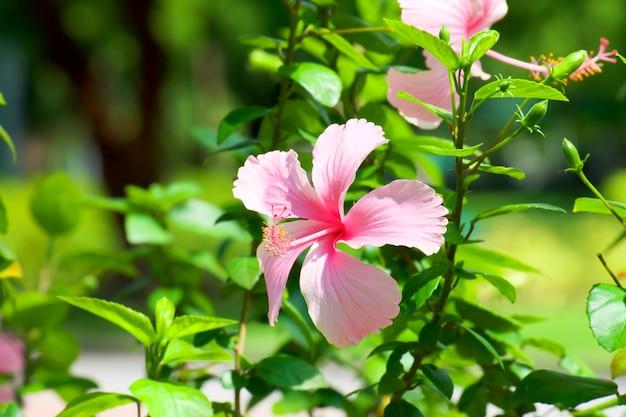 Schöner hibiscus rosa-sinensis mit sonnenlicht im garten, rosa blumen.