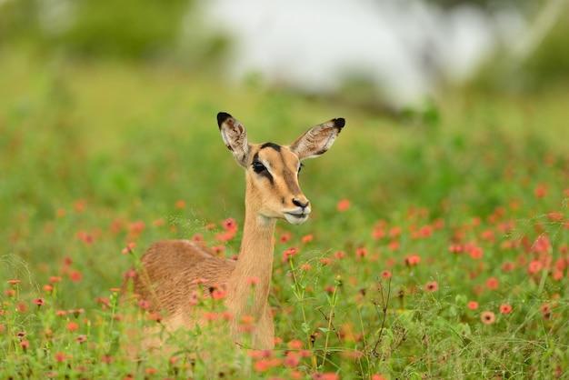 Schöner hirsch, der auf einem feld sitzt, das mit grünem gras und kleinen rosa blumen bedeckt ist
