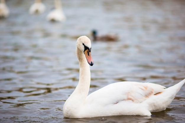 Schöner höckerschwan in prag-fluss die moldau und in charles bridge auf dem hintergrund. karluv most und weiße schwäne